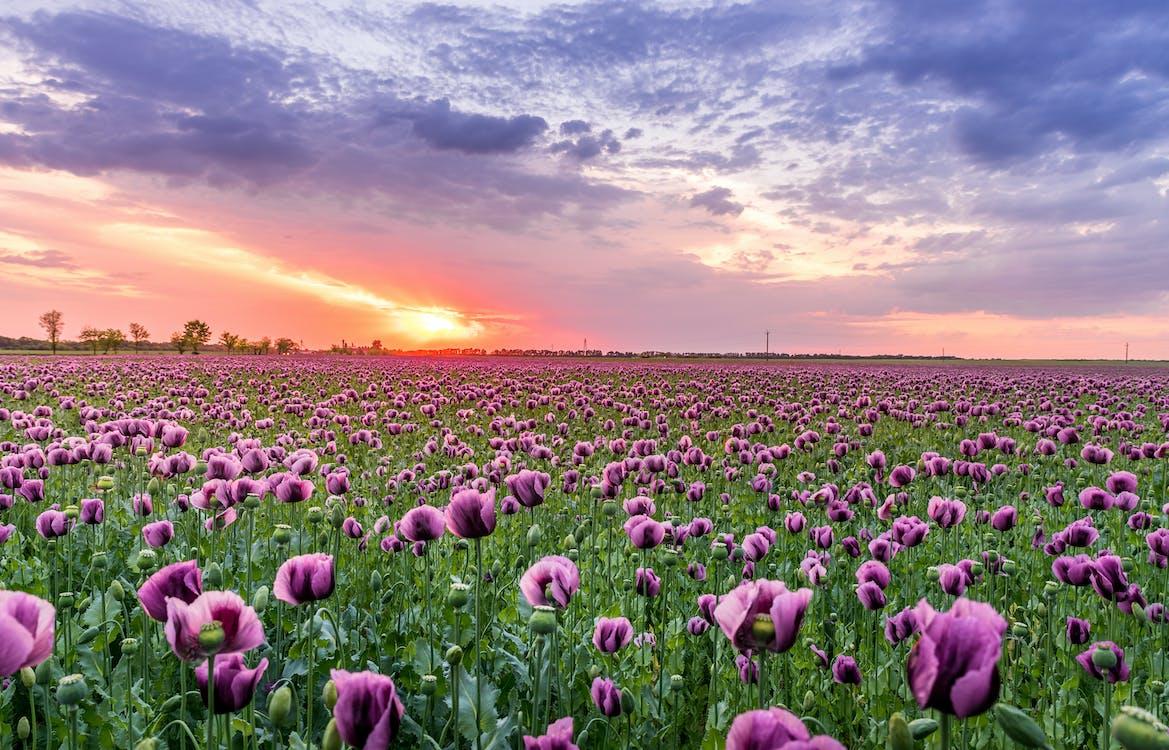 Purple Petaled Flower Field