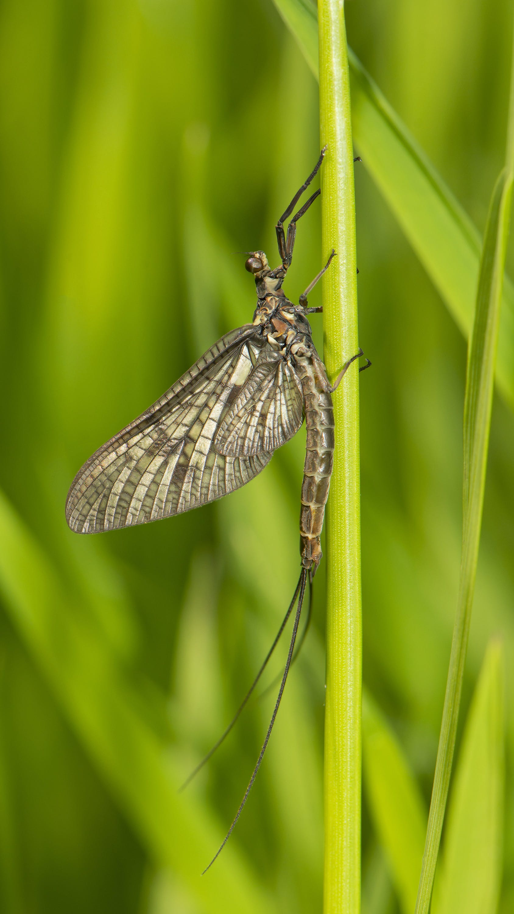 Free stock photo of fly, insect, mayfly