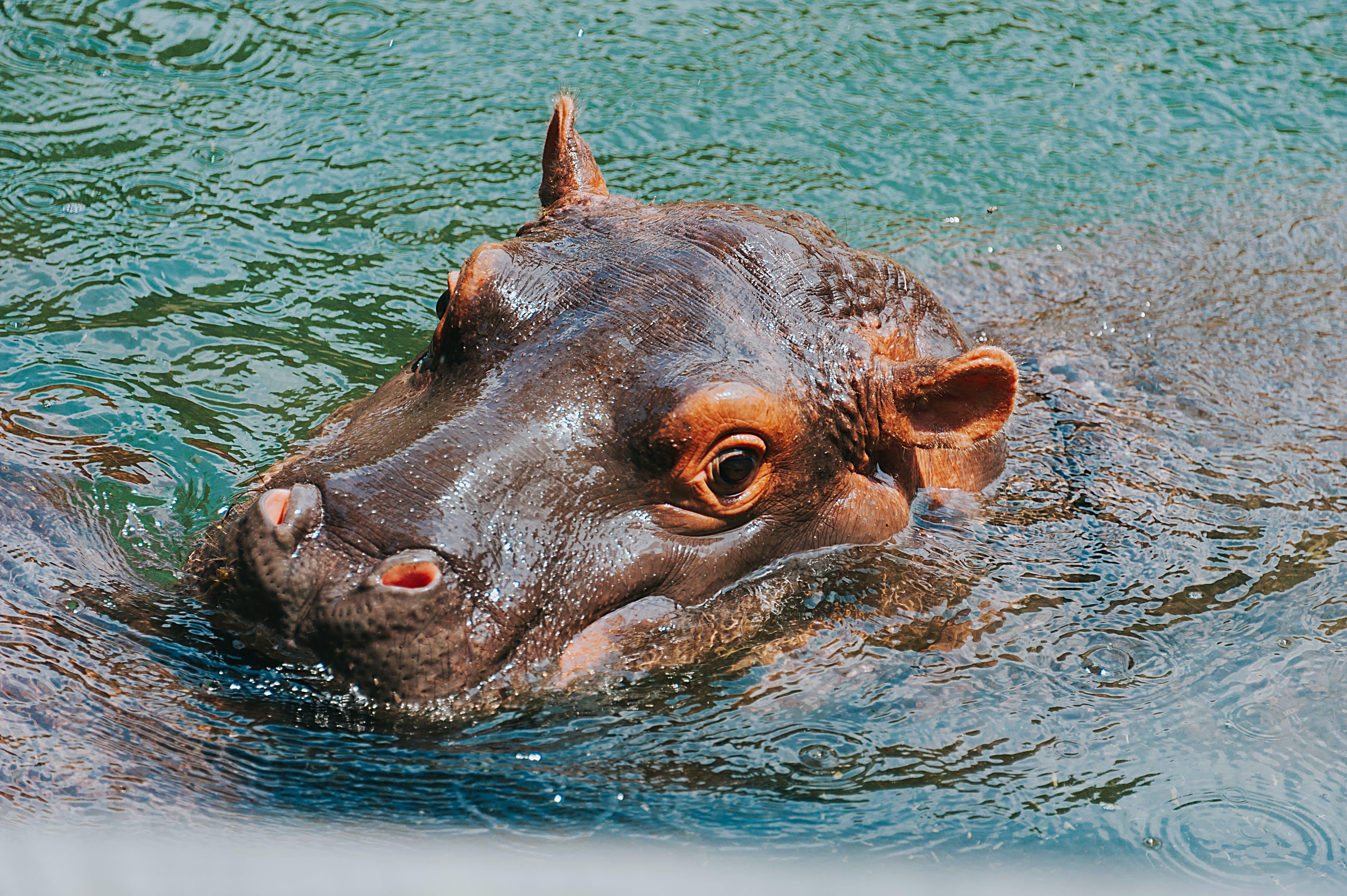 Close-up Photography of Hippopotamus
