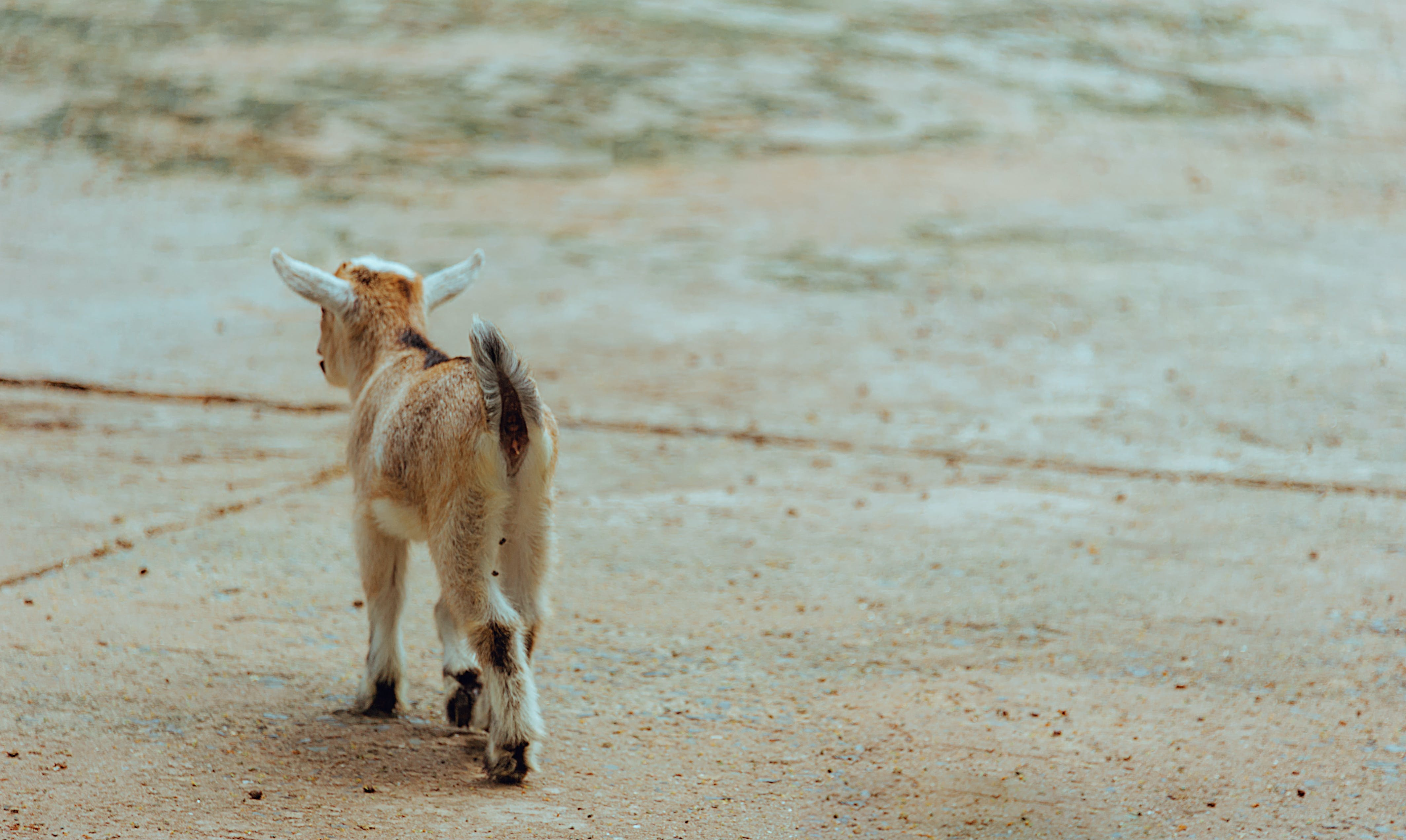 Brown and White Goat Walking on Ground