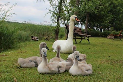 Free stock photo of animals, baby, swans