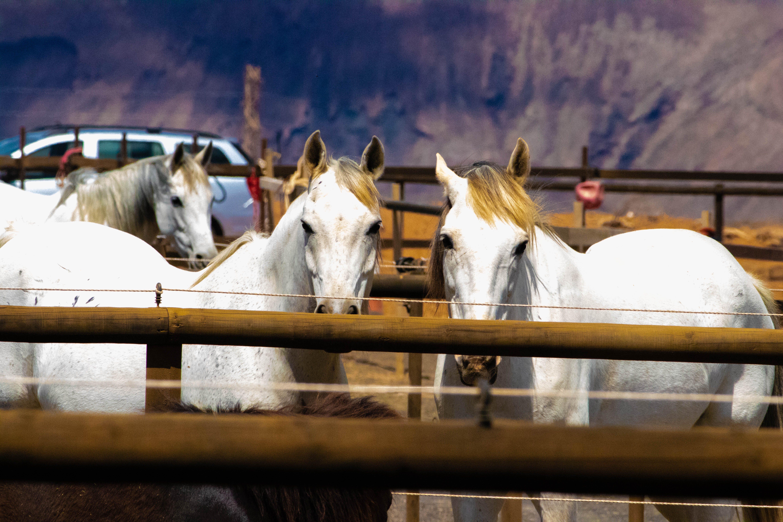 Three White Horses on a Barn