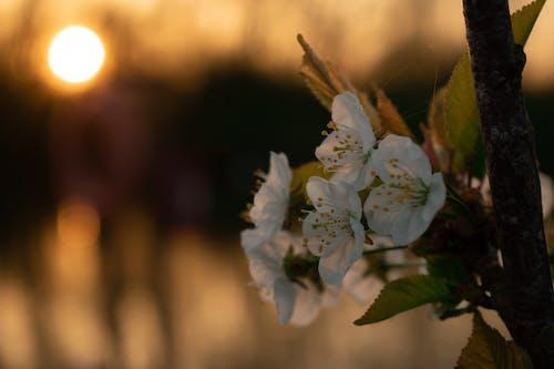 Free stock photo of flower, sunset