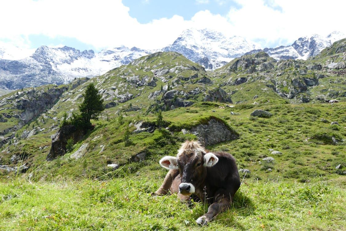 Vieh, Das Auf Grünem Grasfeld Liegt