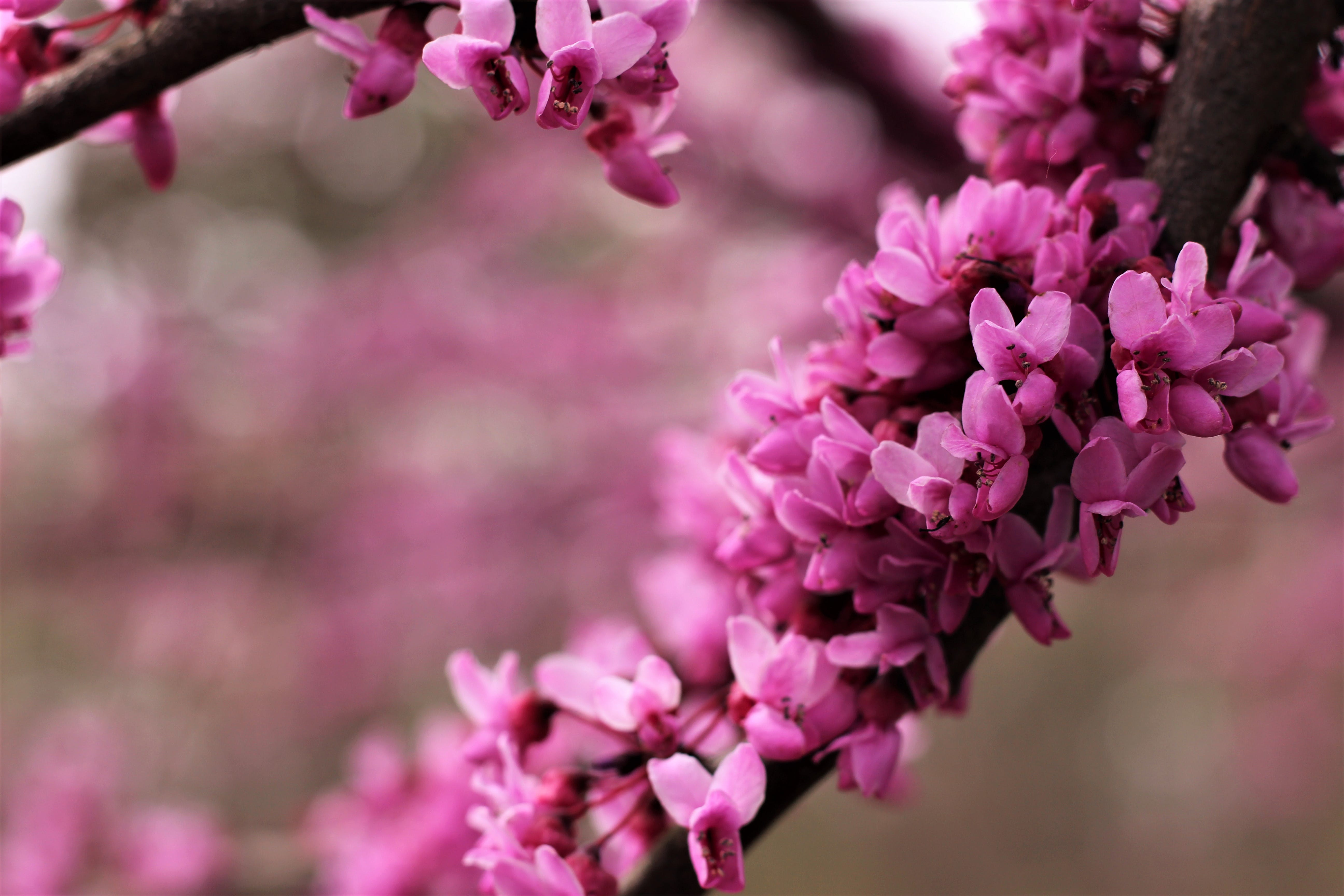 Kostenloses Stock Foto zu blühender zweig, blumen, natur, pinke blumen