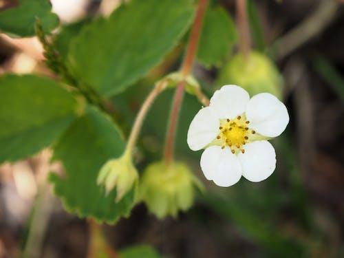 イチゴ, 白, 緑, 自然の無料の写真素材