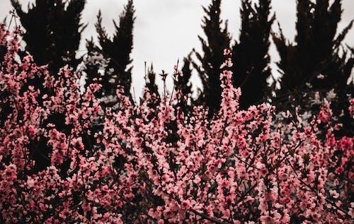 Fotobanka sbezplatnými fotkami na tému čerešňový kvet, jarné obdobie, kvet čerešne