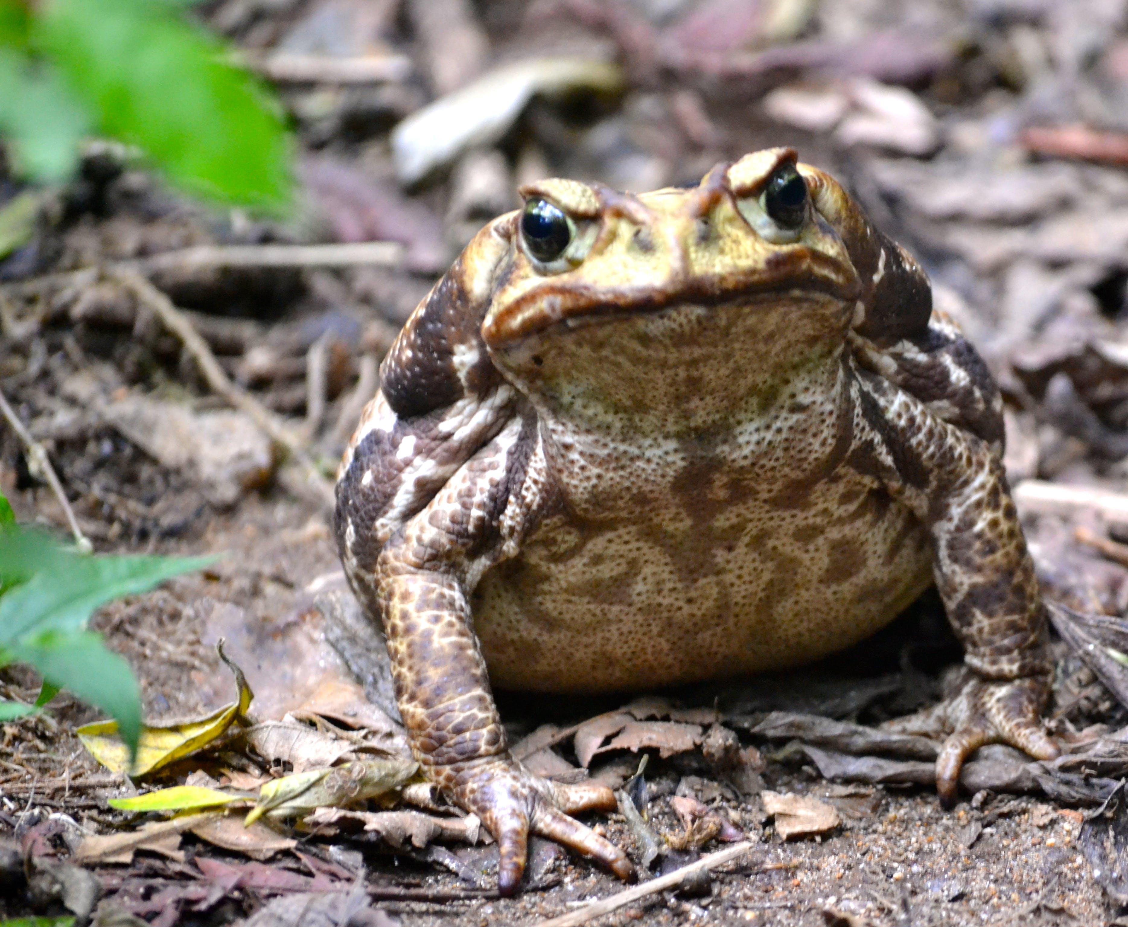 Free stock photo of #forest, big frog, floresta, frog