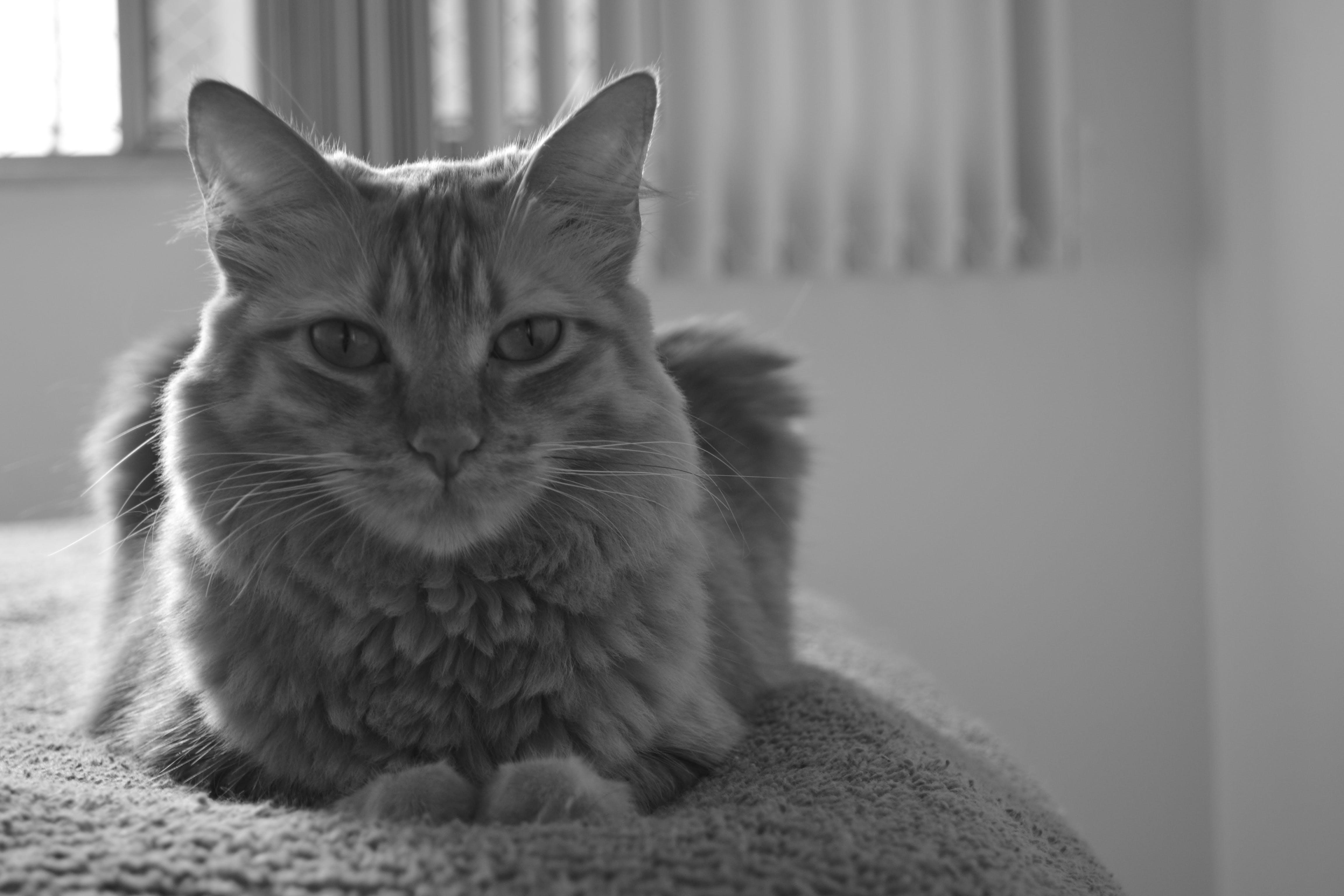 Free stock photo of black and white, cat, gato, Preto e branco