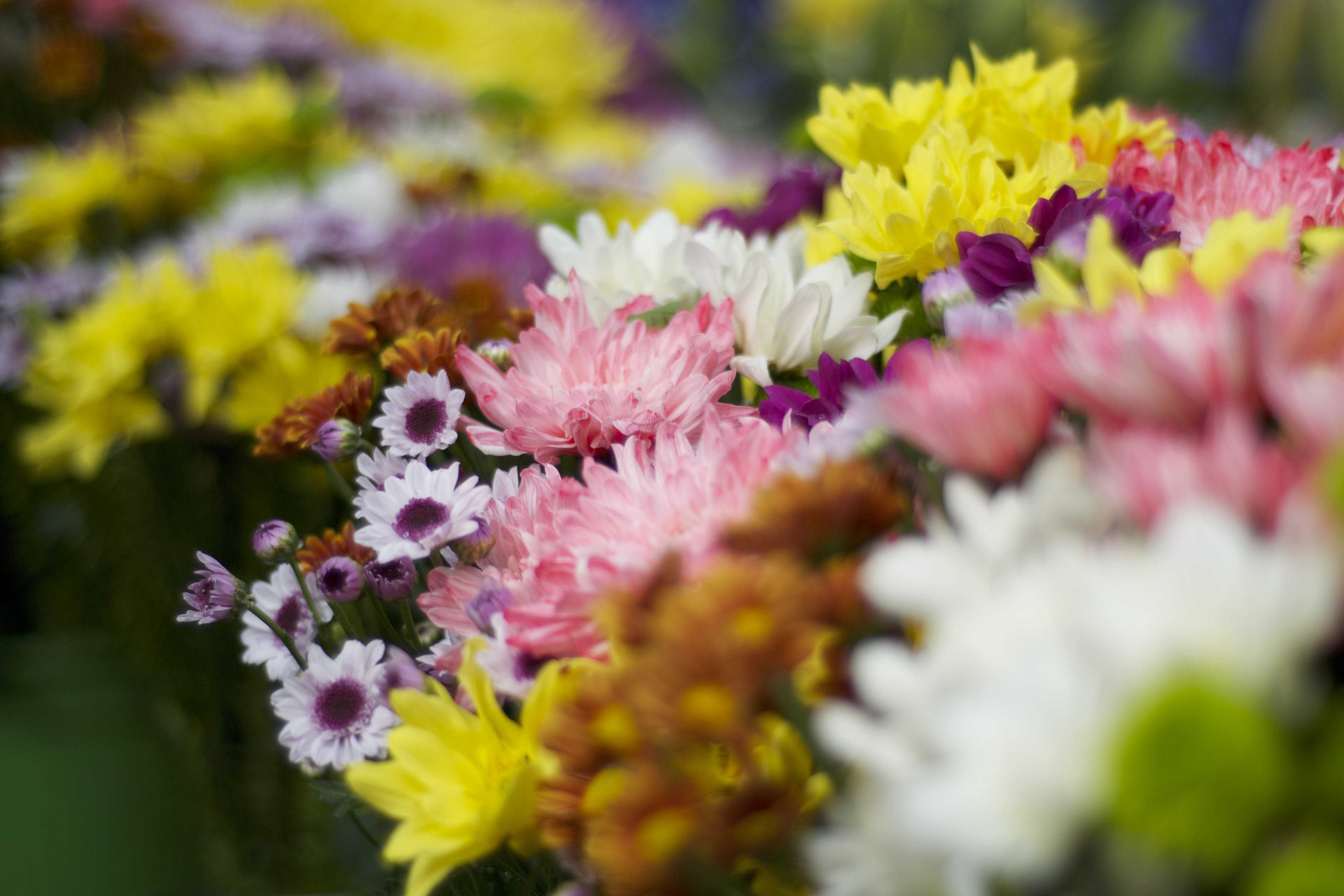 Free stock photo of beautiful flowers, flowers