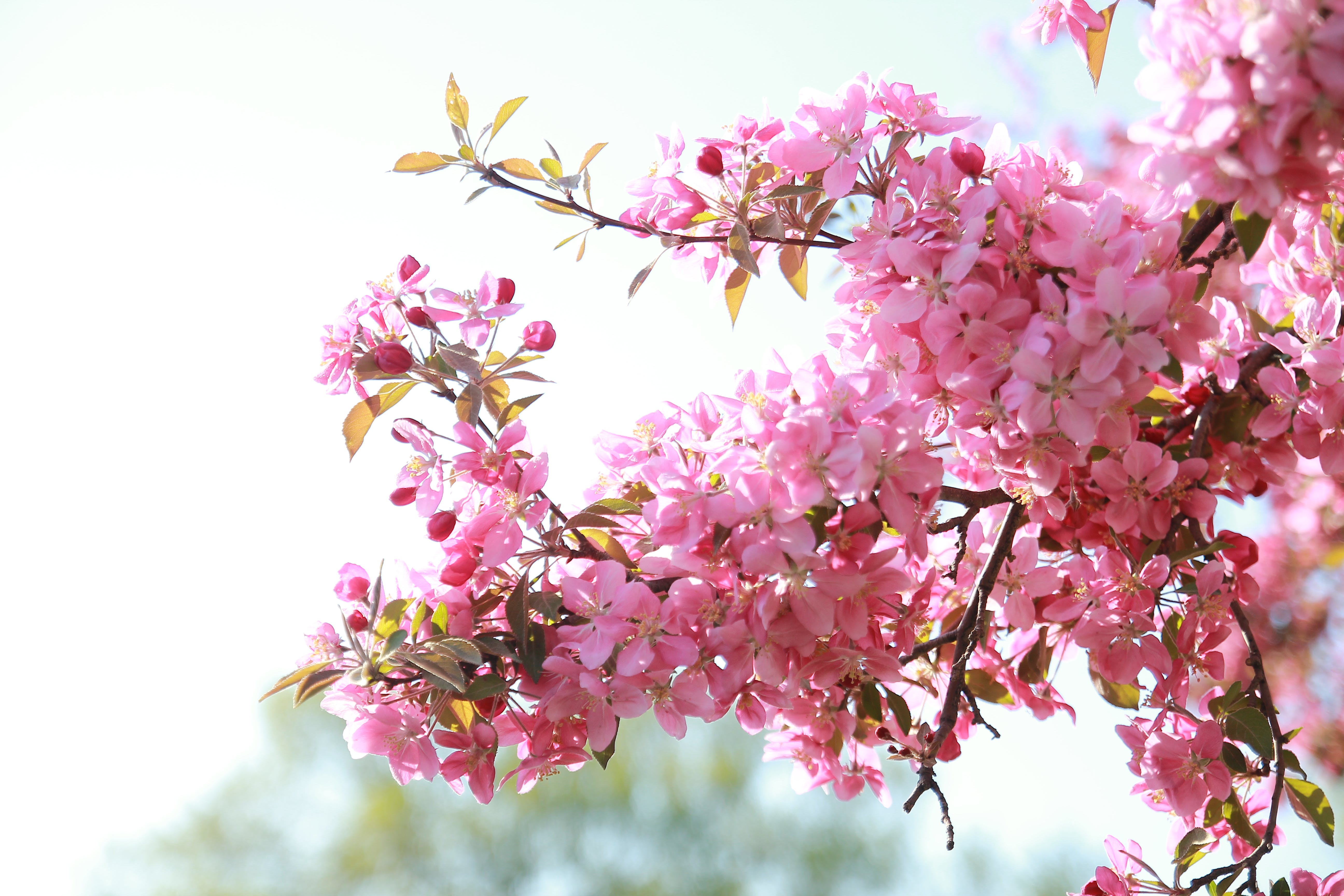 Free stock photo of afternoon, blooming, blossoming, canada