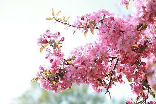 Immagine gratuita di bellissimo, canada, cielo, ciliegia