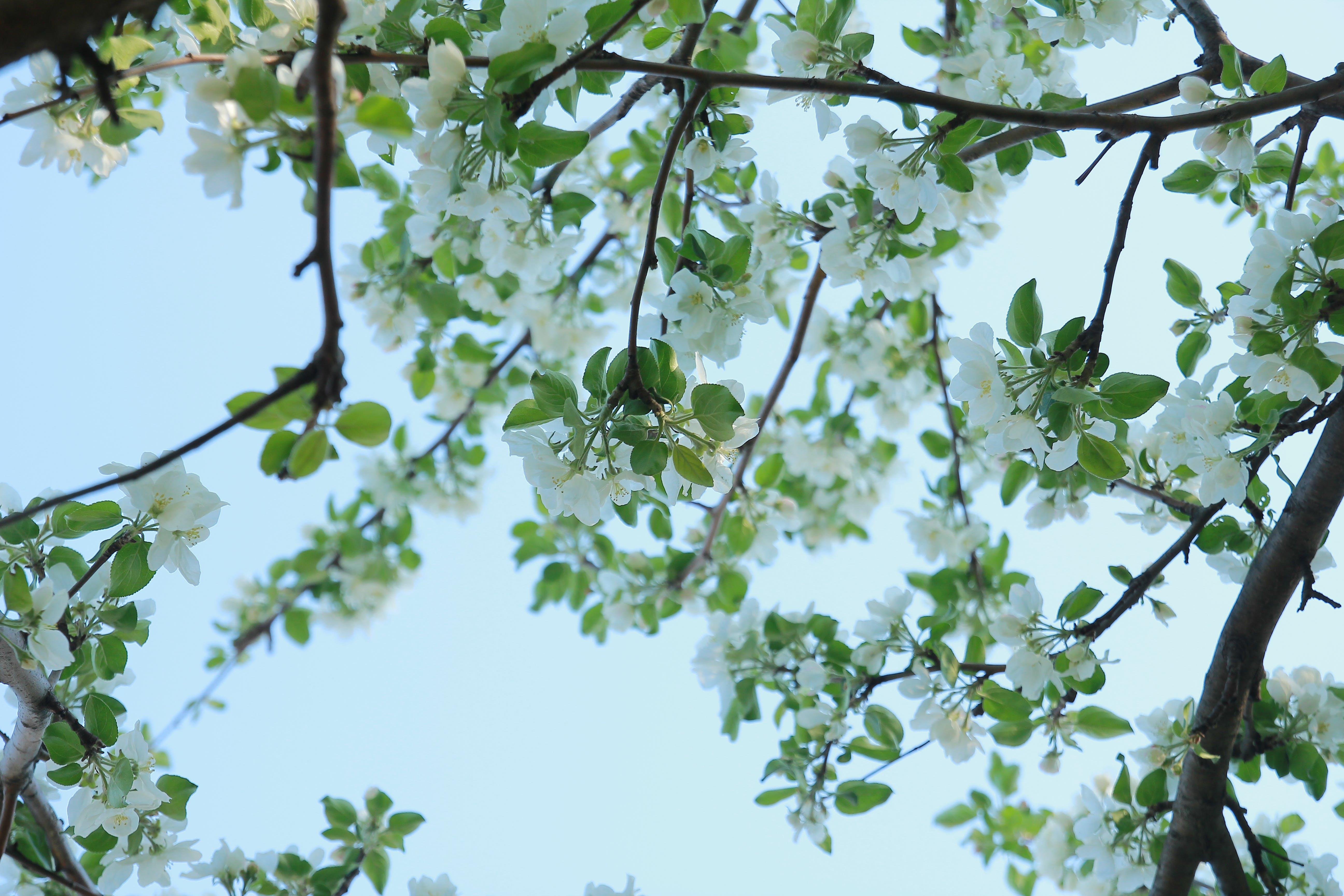 Free stock photo of afternoon, apple, apple blossom, apple tree