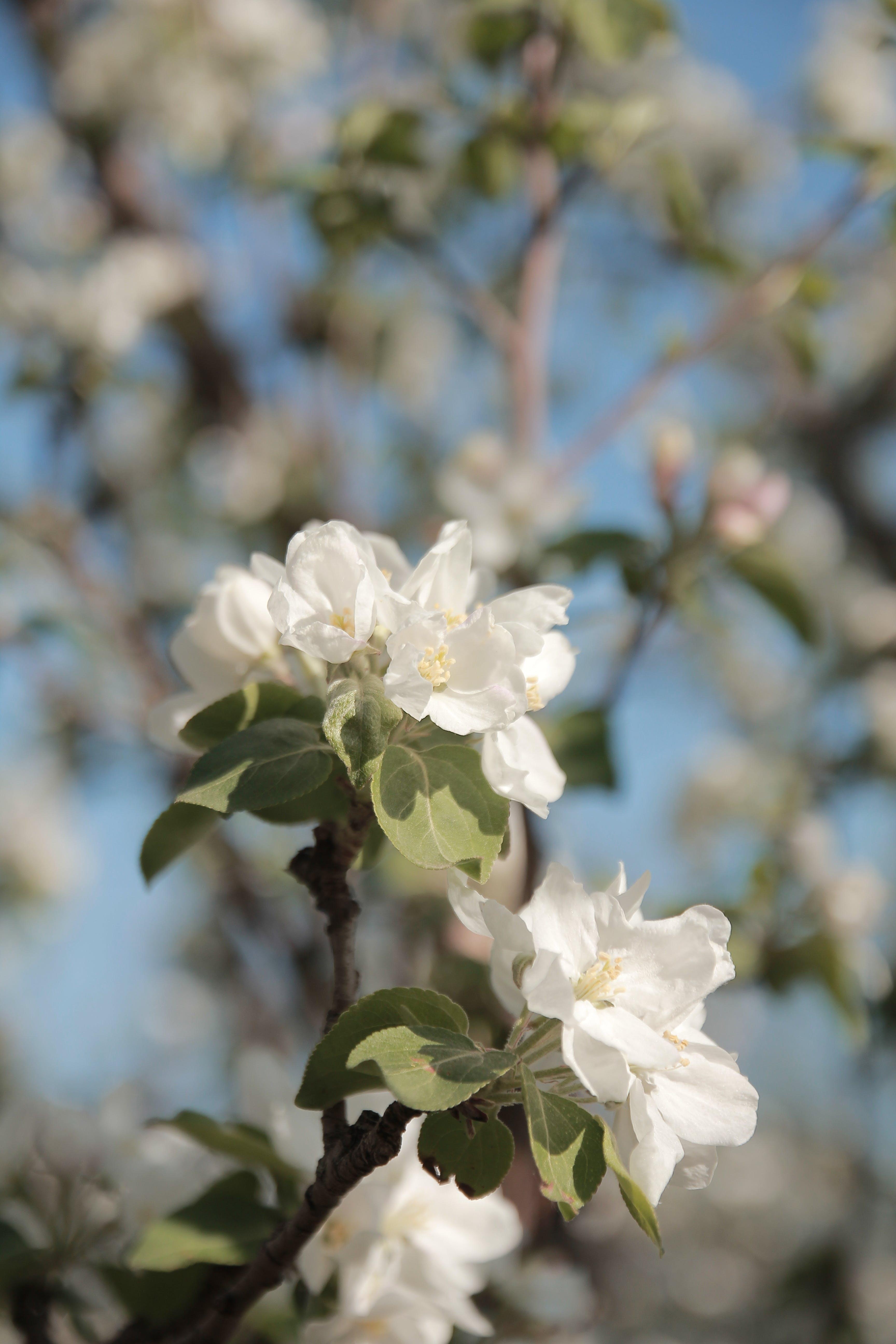 Δωρεάν στοκ φωτογραφιών με apple, winnipeg, ανθισμένος, άνθος μηλιάς