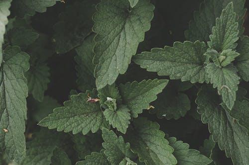 Foto stok gratis alami, daun mint, herbal, hijau
