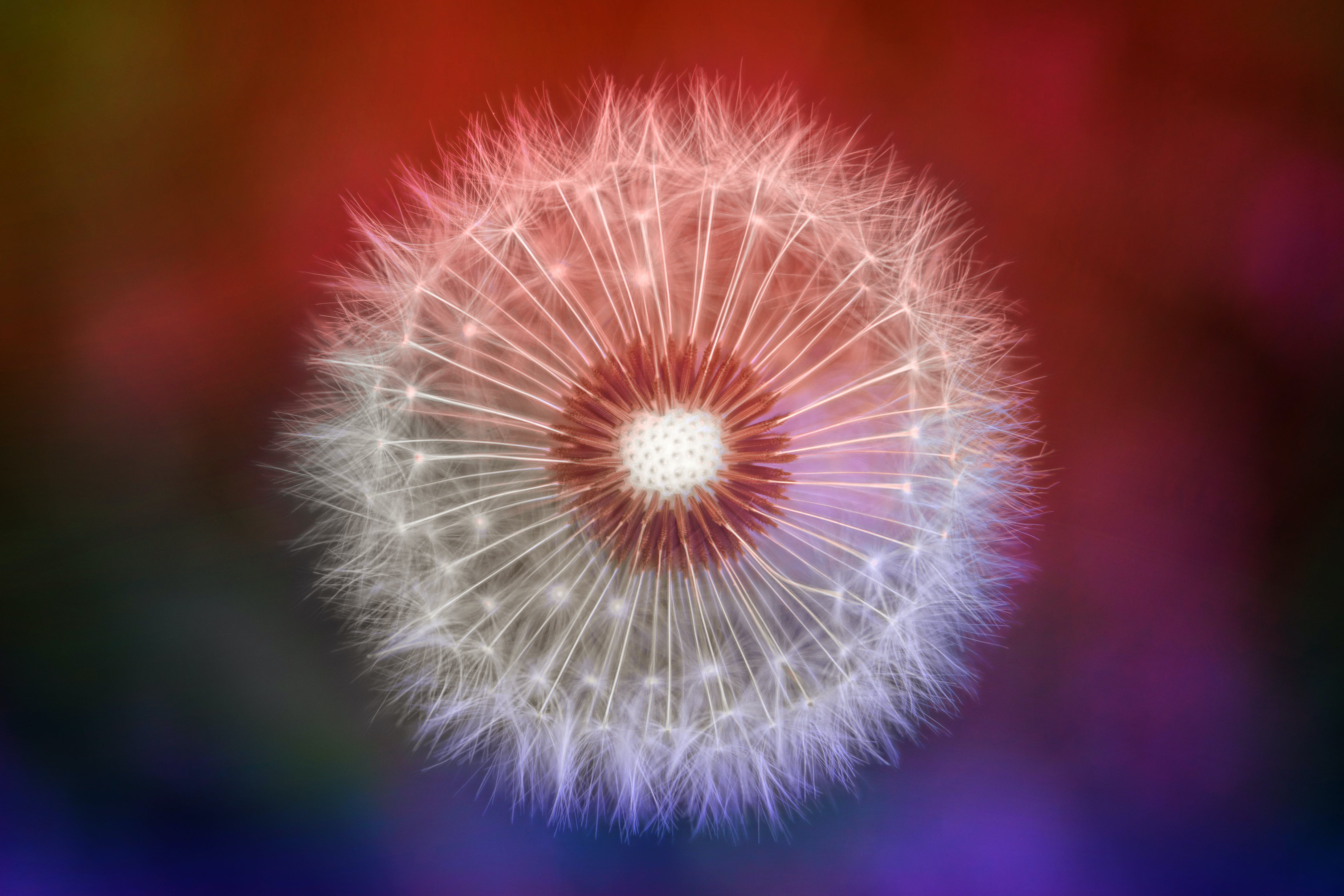 Close-up Photography of Dandelion