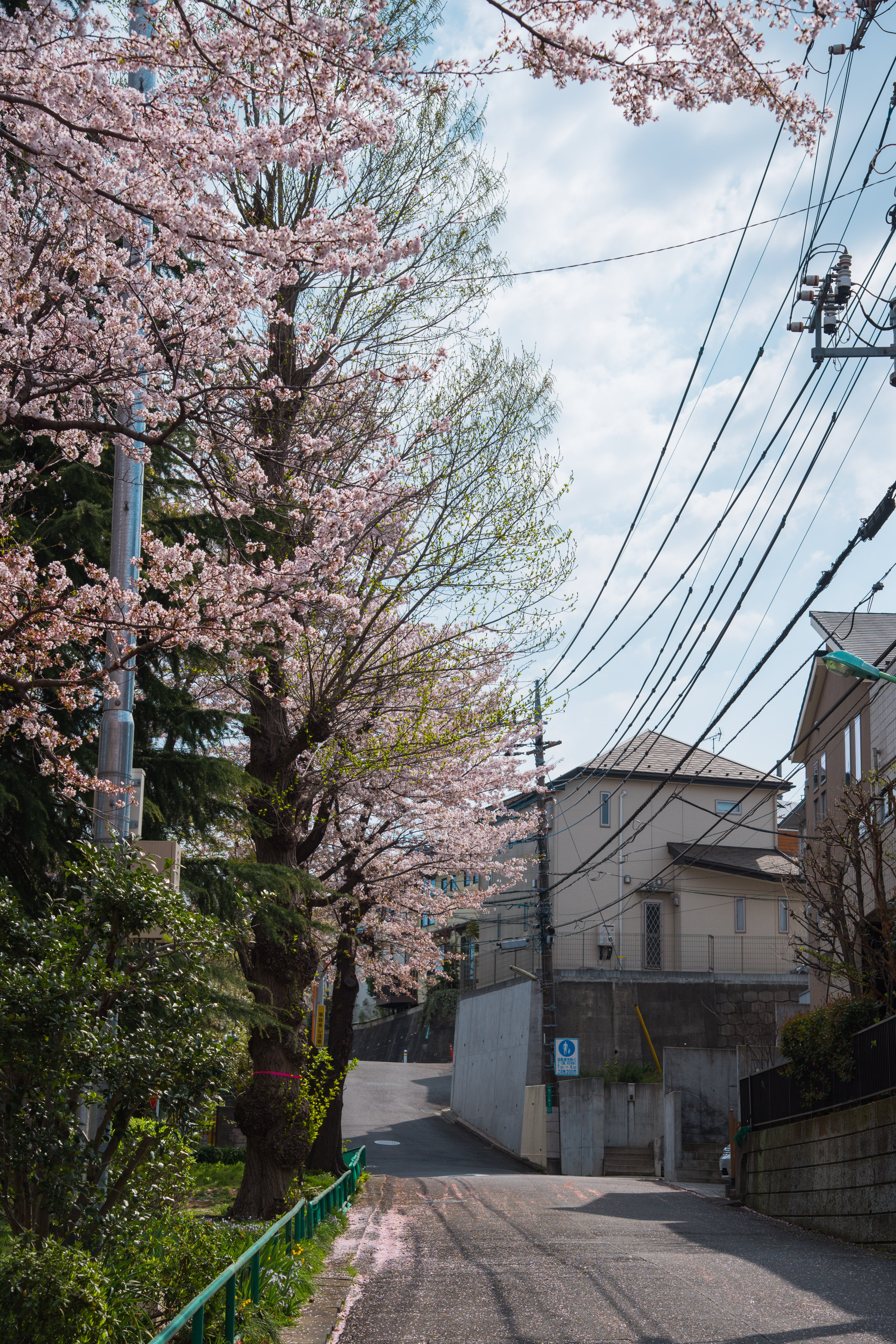 Cherry Blossom Tree Beside Road Photography