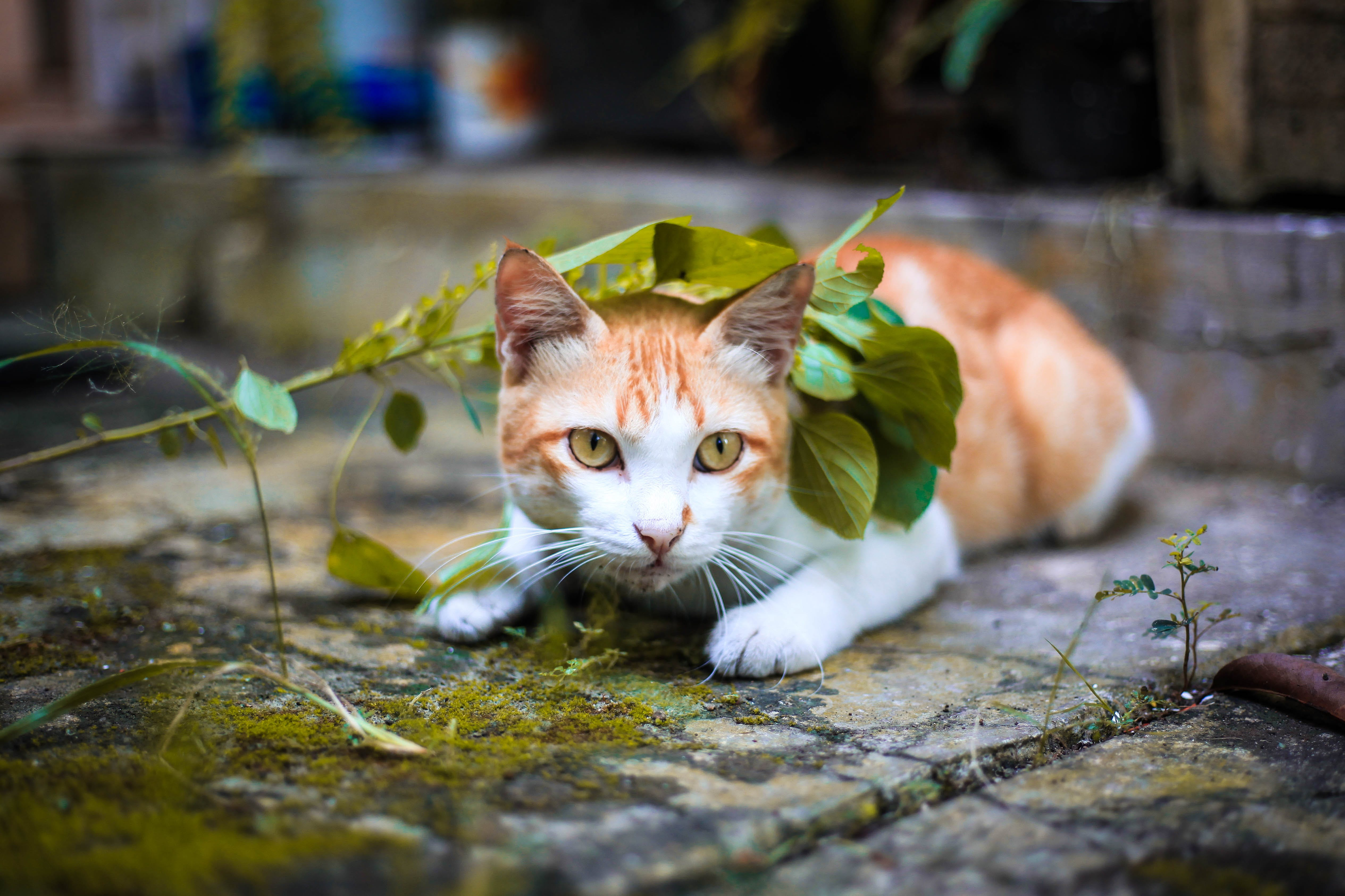 Orange and White Tabby Cat Lying on Mossy Gray Pavement Under Green Leaves Selective Focus Photo