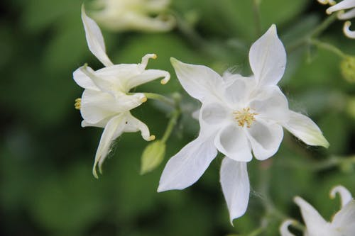 Бесплатное стоковое фото с aquilegia vulgaris, ranunculaceae, аквилегии, белый цветок