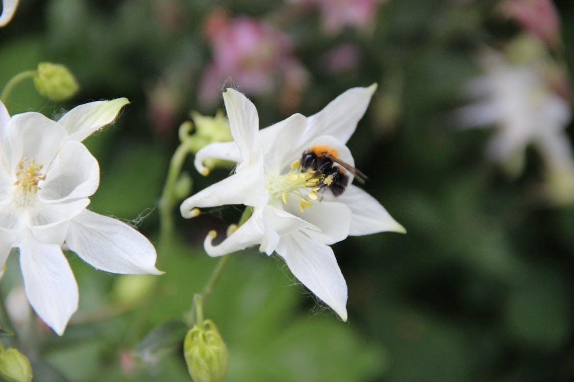 aquilegia, aquilegia vulgaris, beautiful flowers