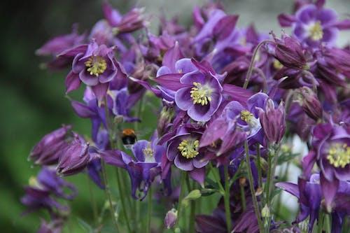 Imagine de stoc gratuită din aquilegia, aquilegia vulgaris, căldăruşă, clopoțel