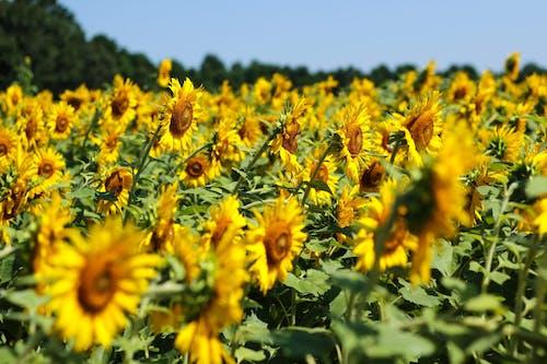 Free stock photo of field, nature, sunflower, yellow