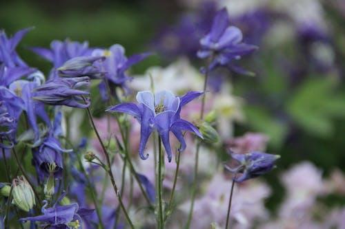 Free stock photo of aquilegia, aquilegia vulgaris, beautiful flowers