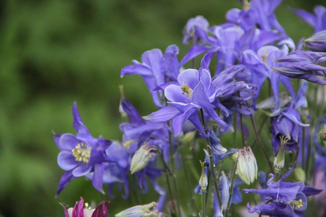 aquilegia vulgaris, ranunculaceae, аквилегии