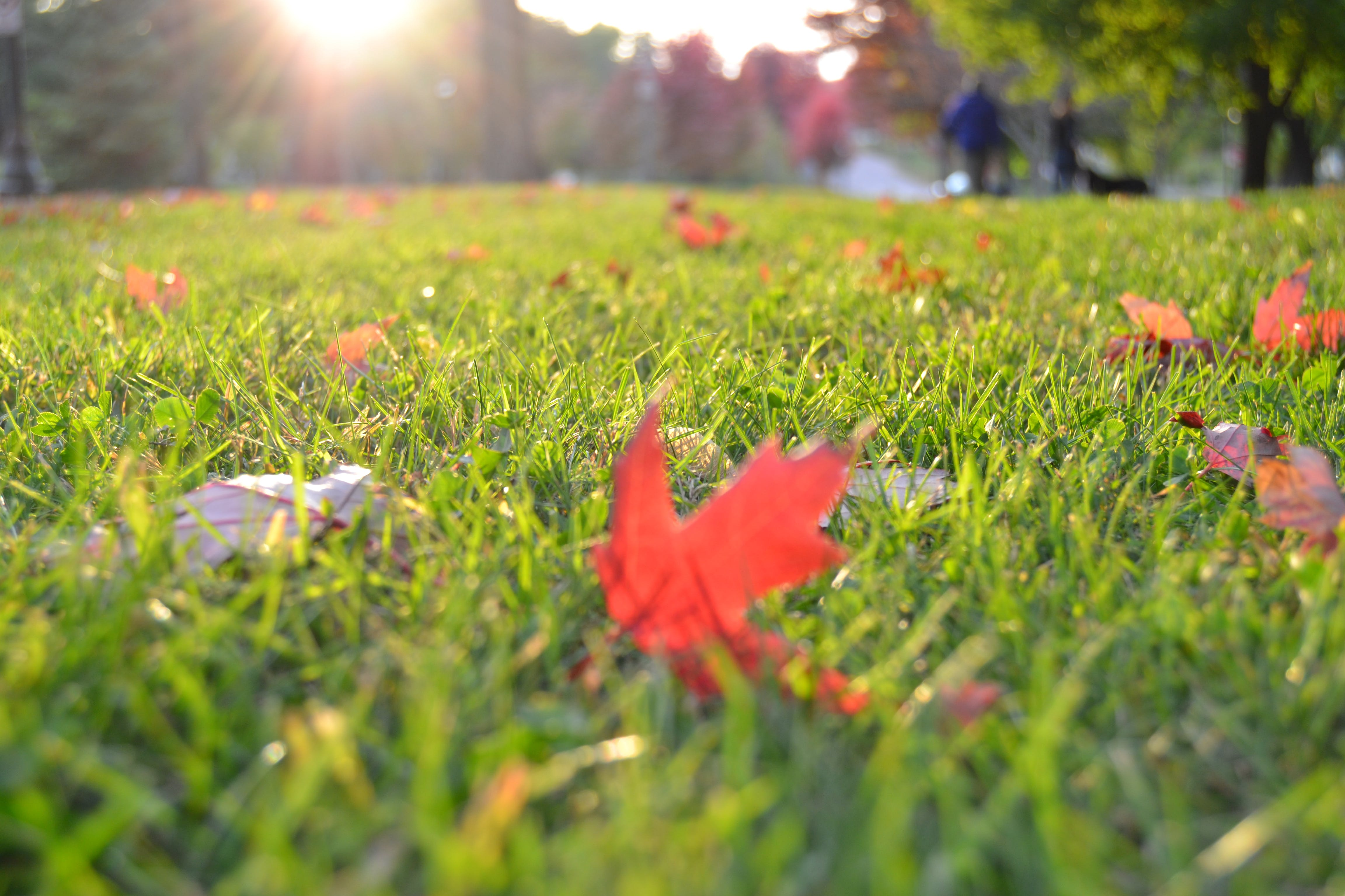 Brown Maple Leaf on Green Grass in Focus Photography
