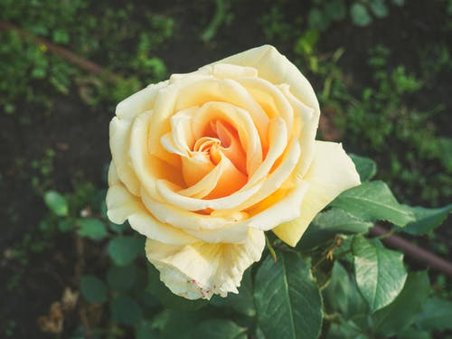 Fotos de stock gratuitas de amarillo, flor, flor rosa, flora