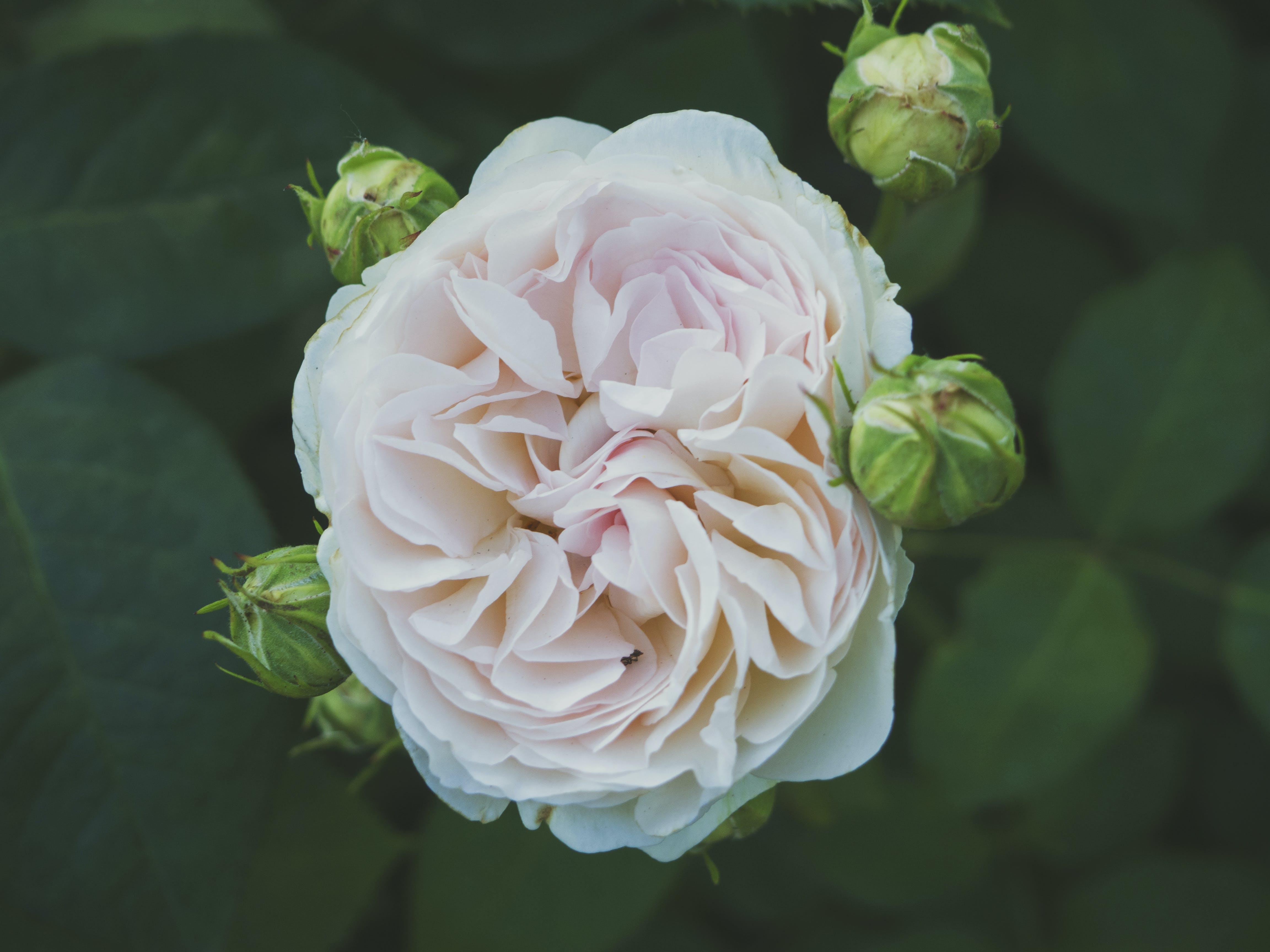 Základová fotografie zdarma na téma flóra, kvést, květ, květní pupeny