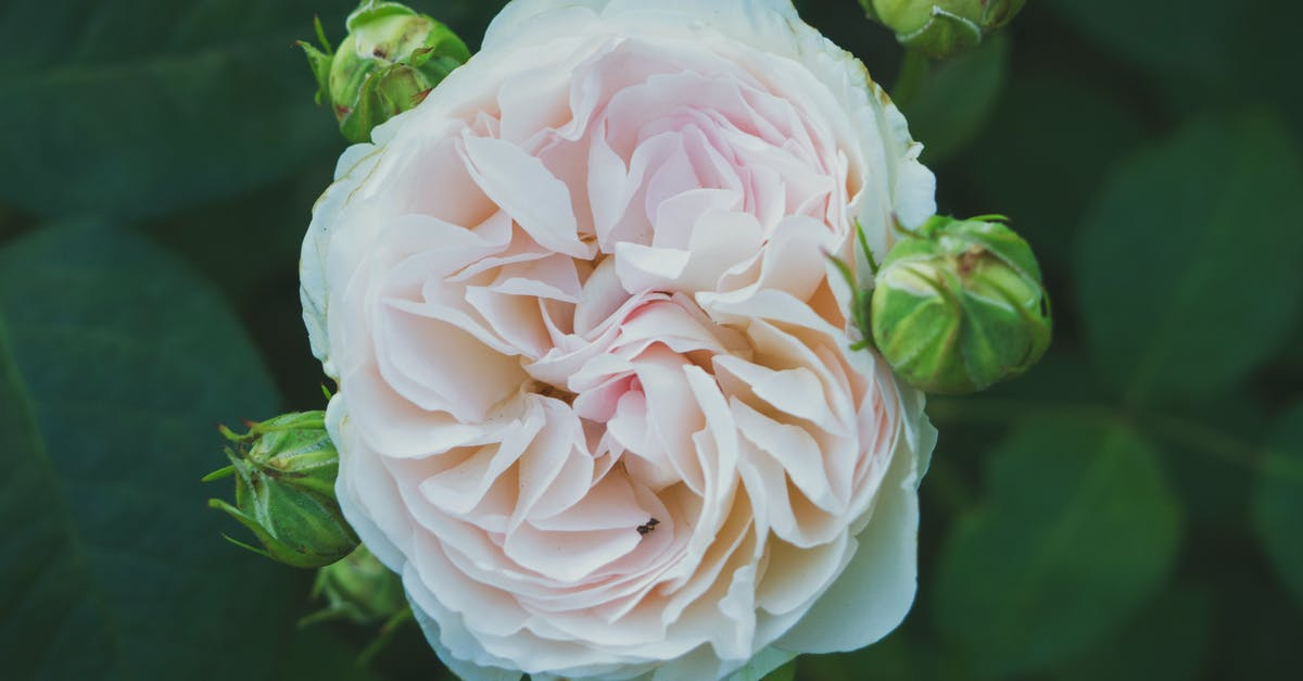 Close-up Photography of White and Pink Peony Flower
