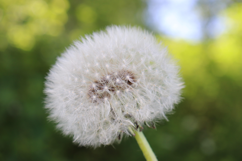 Gambar Bunga Dandelion Tumblr Gambar Hd Pilihan
