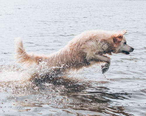Long-coated Brown Dog on Body of Water