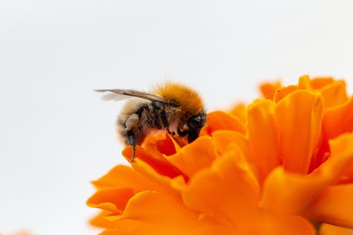 Macro Photo Honey Bee on Orange Flower