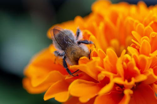 Free stock photo of wildbee, wildbiene