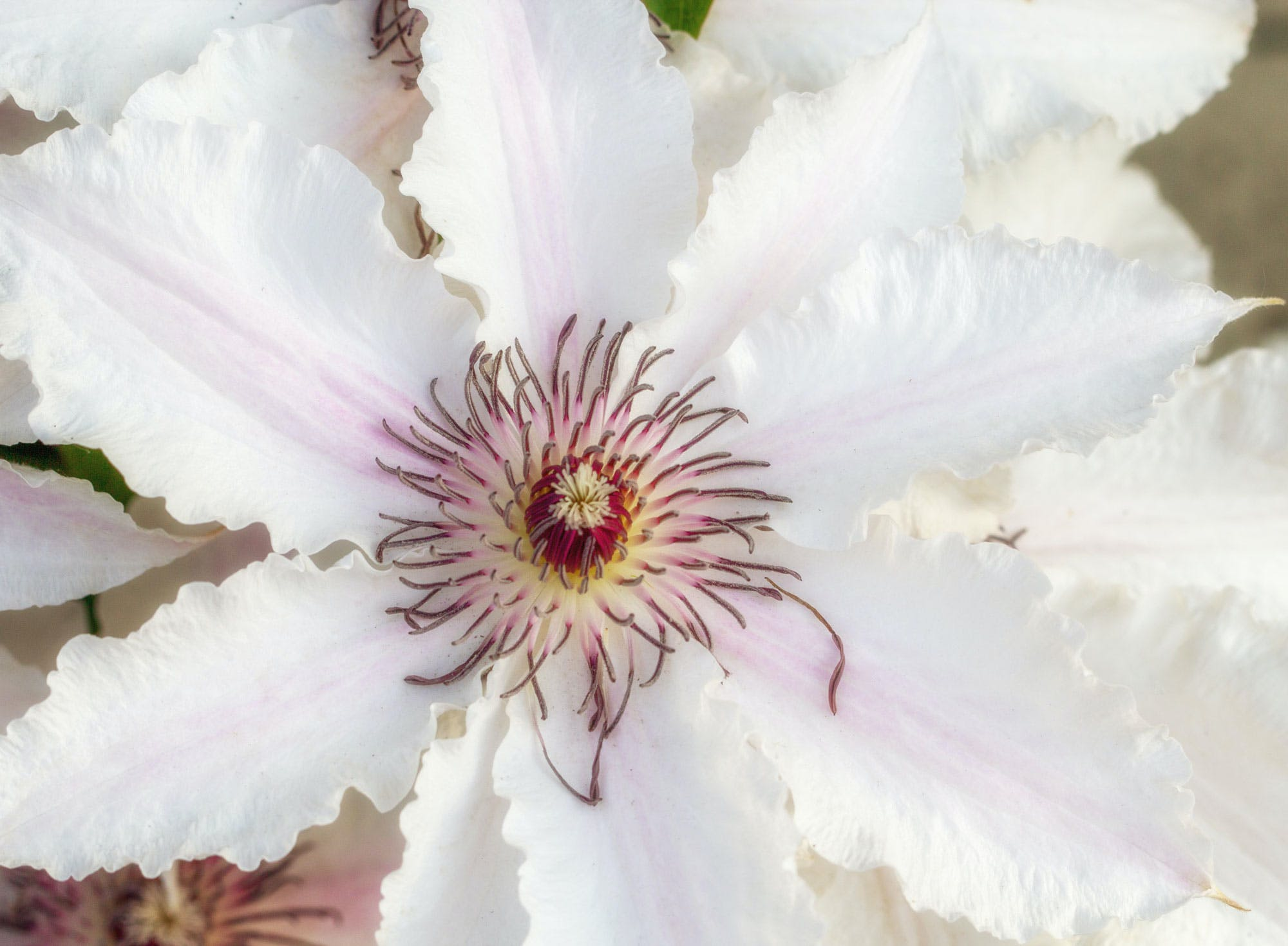 Free stock photo of bell flower, blume