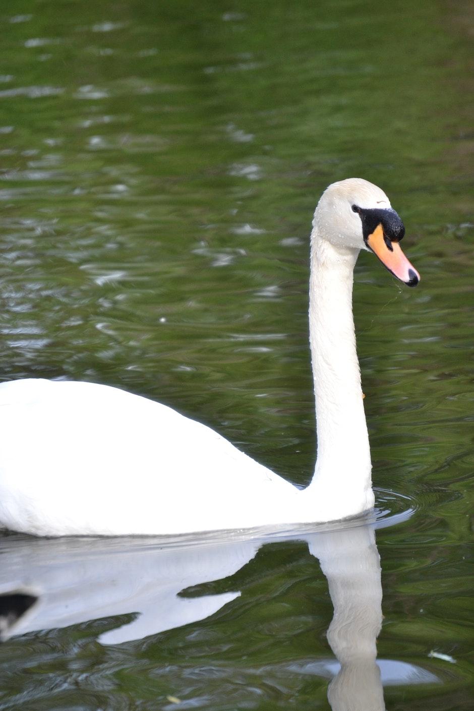 animal, swan