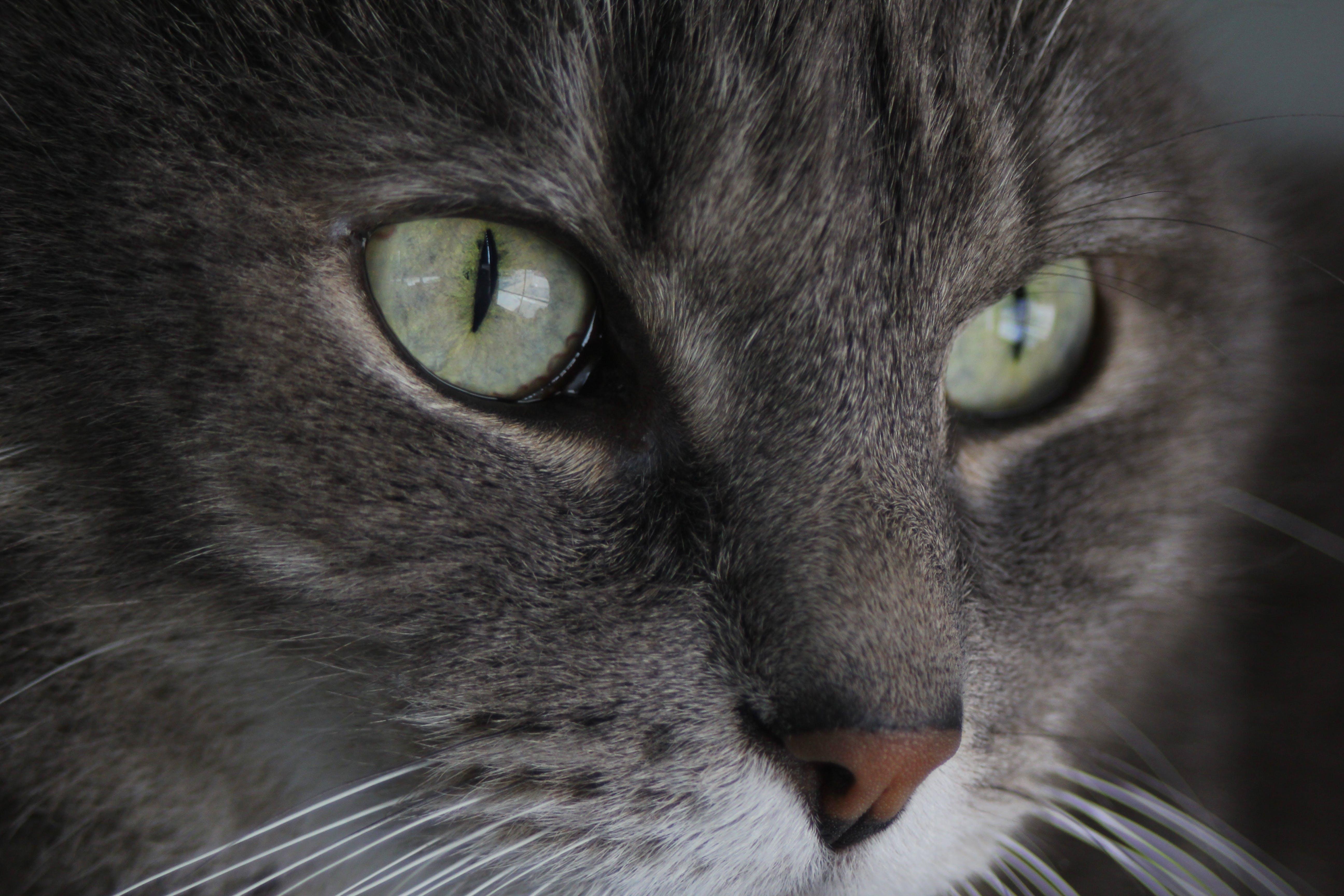 Základová fotografie zdarma na téma kočičí oči, kočka, šedá kočka, zelené oči