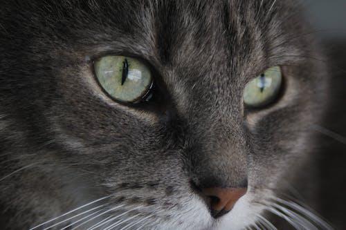 Gratis arkivbilde med grå katt, grønne øyne, katt, katt øyne