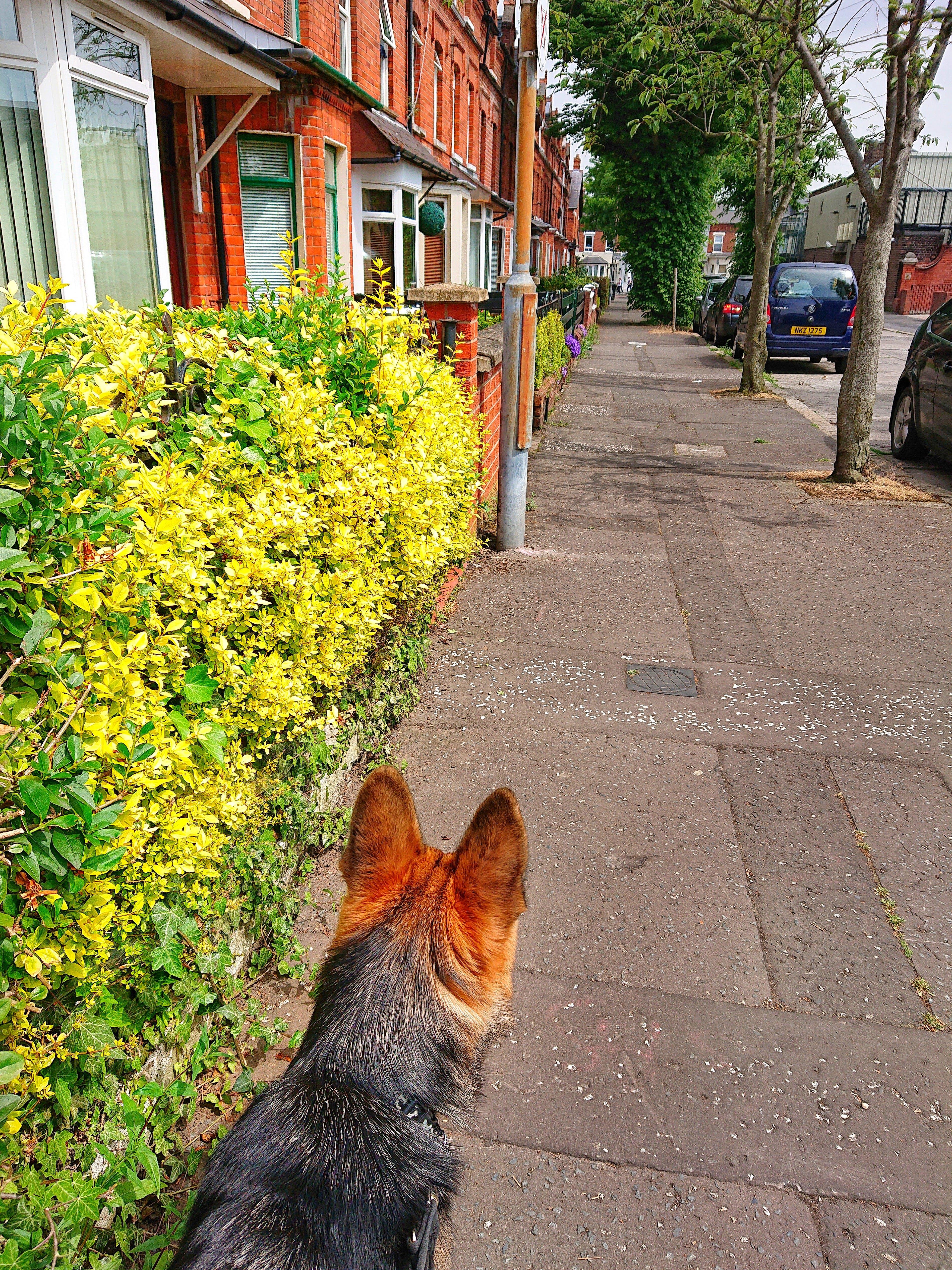 Free stock photo of Belfast, bushes, cars, dog