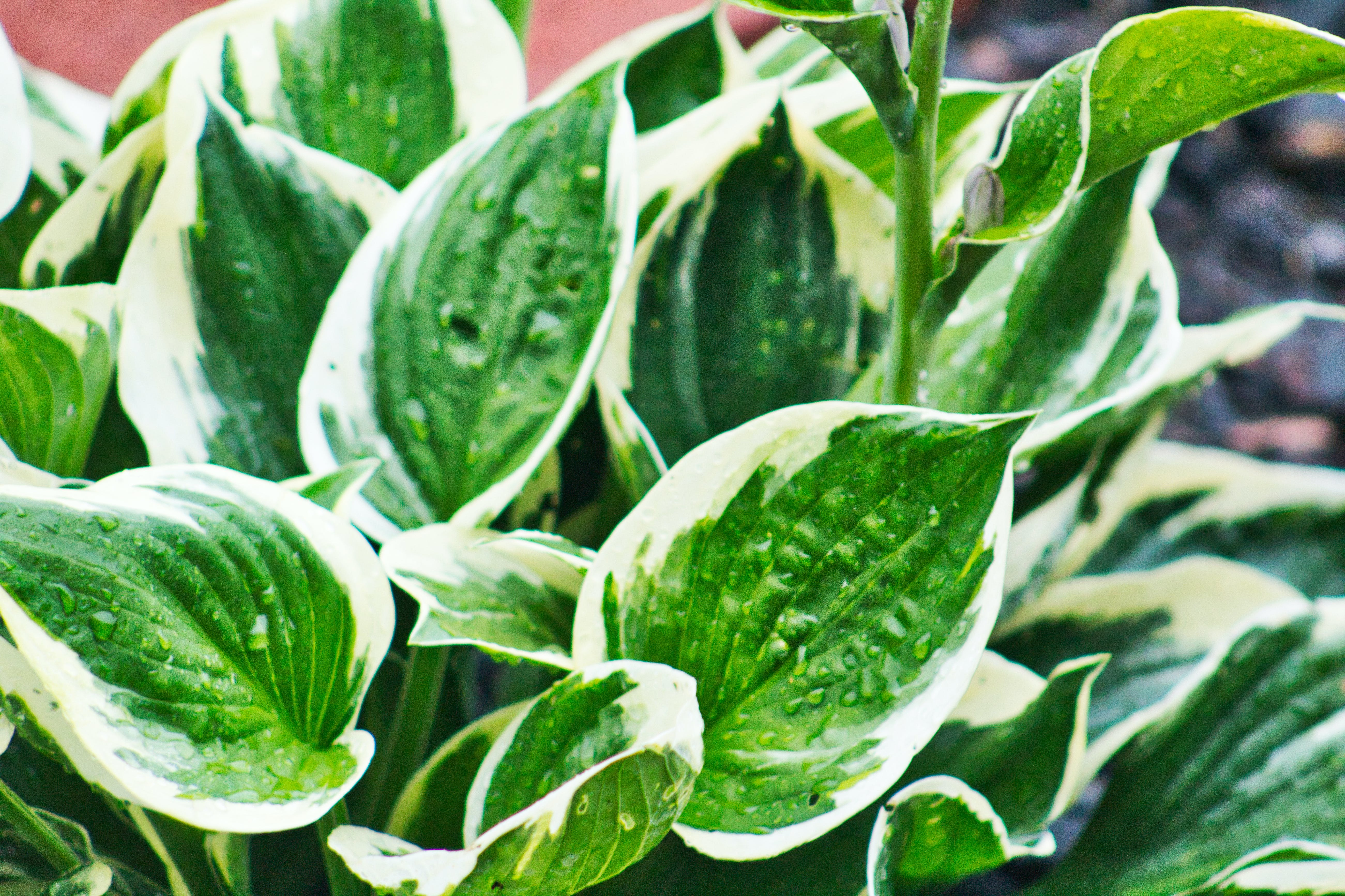Free stock photo of green, hosta, landscaping