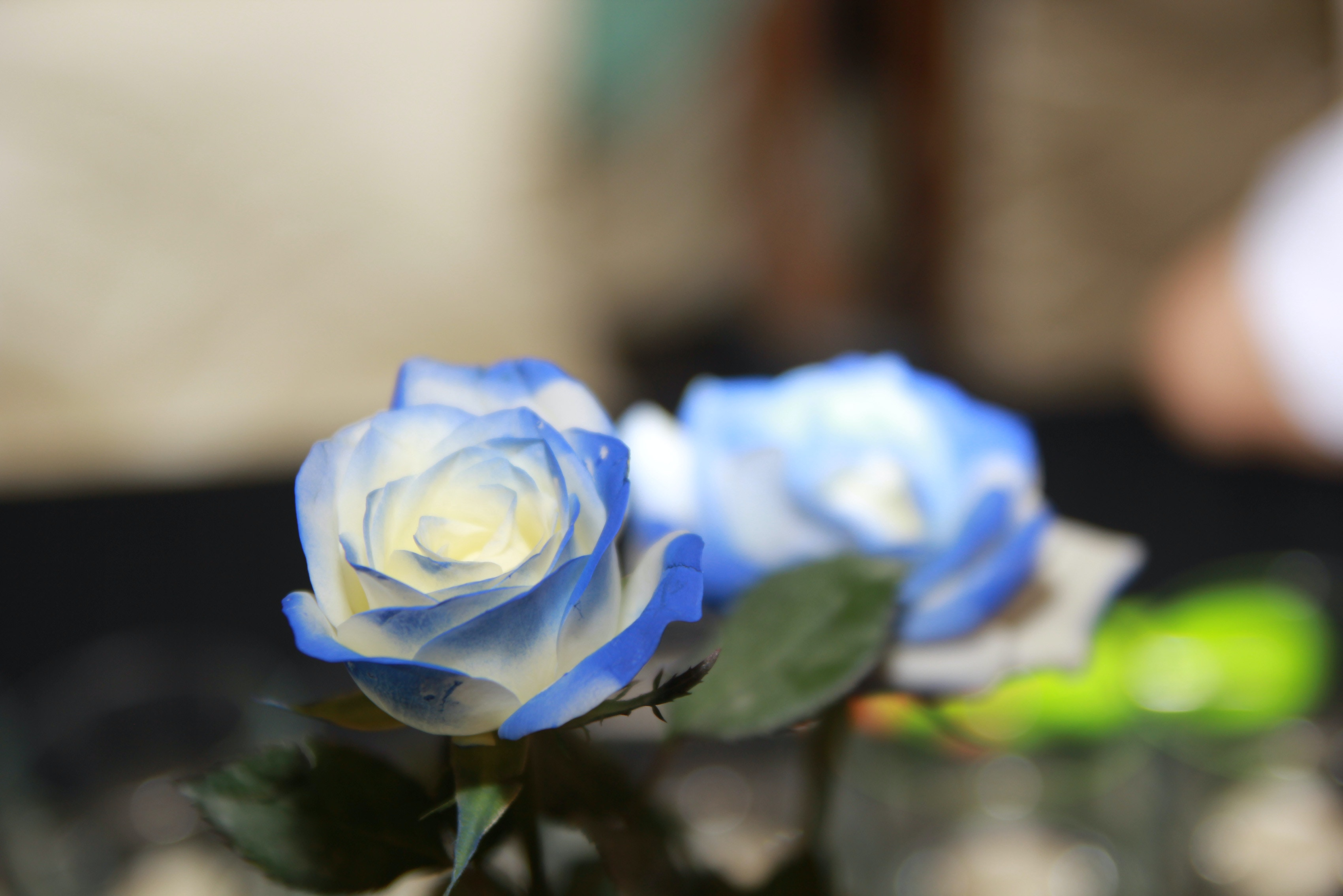 Free Stock Photo Of Beautiful Flowers Blue Rose Flower