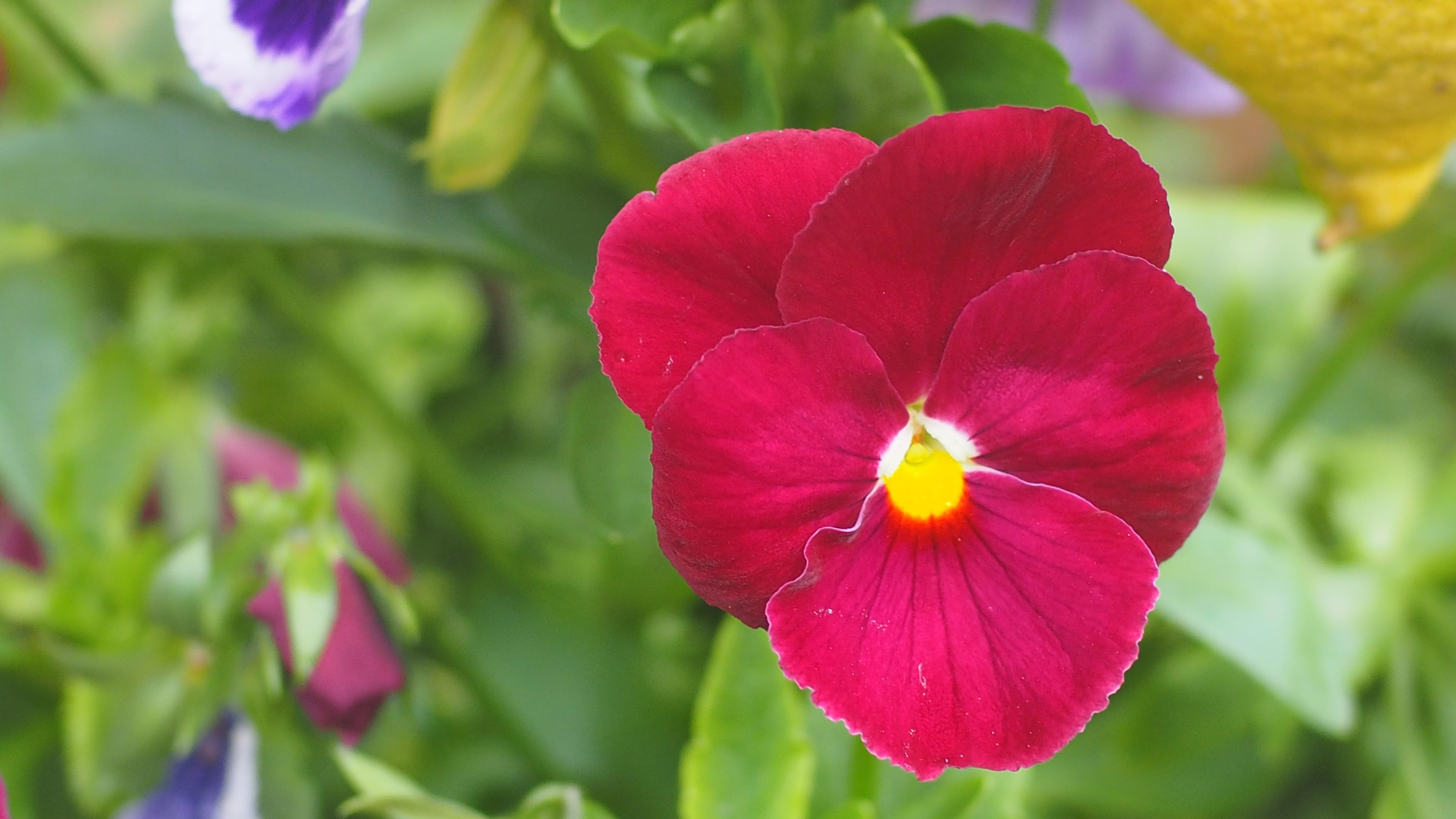 Free stock photo of flower, flowers, pansy, pink flower