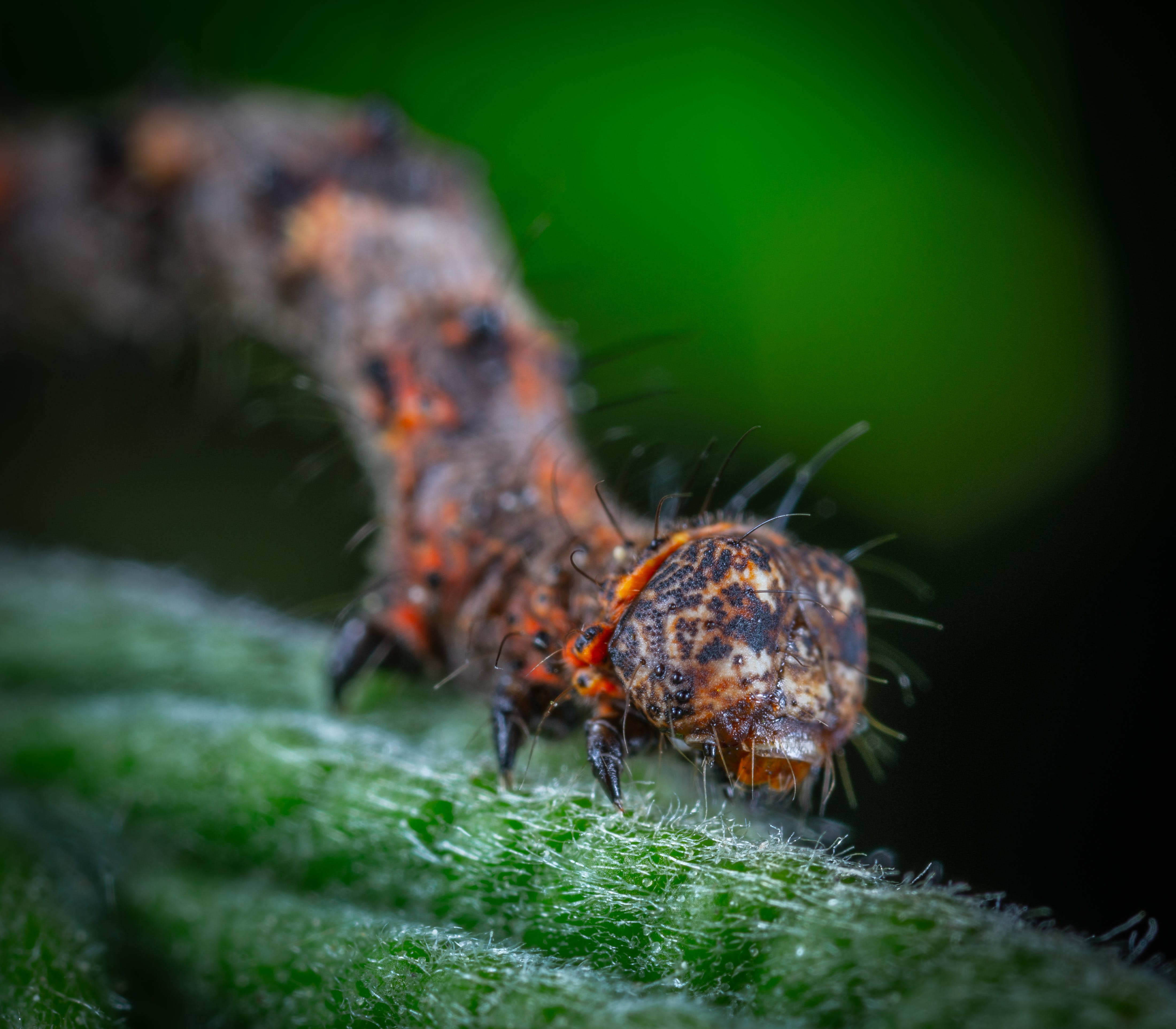 Orange and Black Caterpillar in Macro-photography