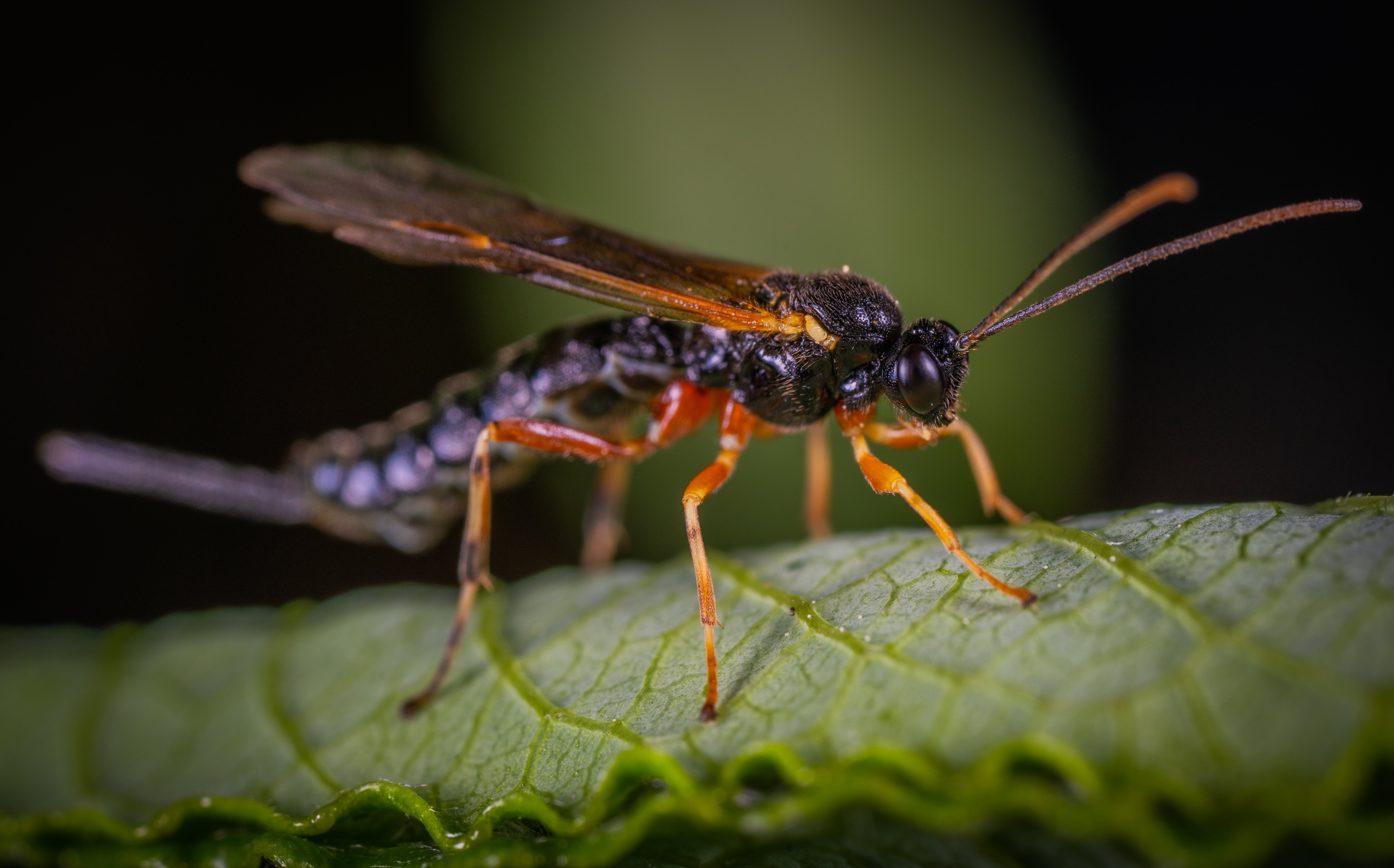 Black Wasp Perched on Green Leaf Closeup Photography