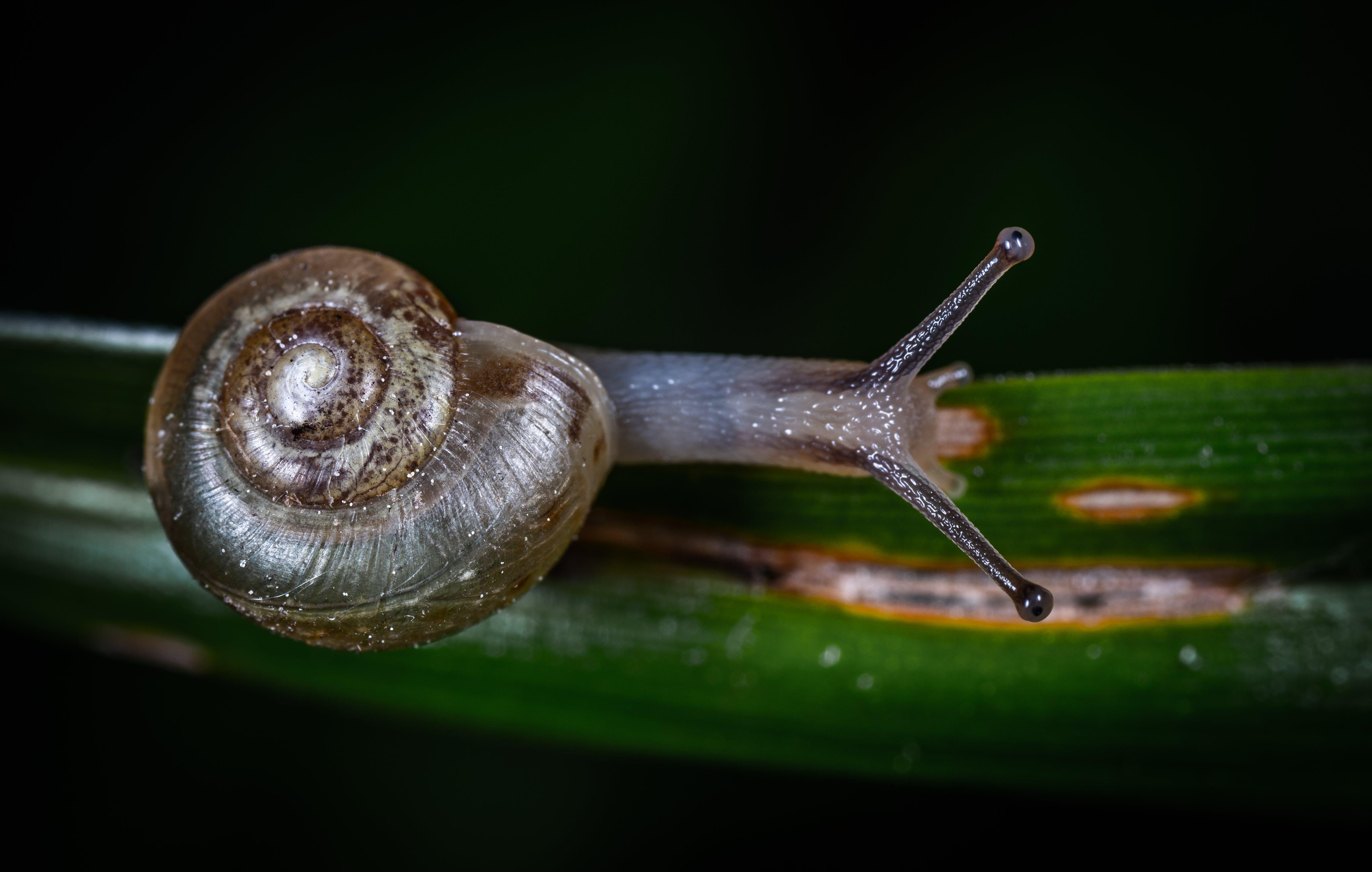 Gray Snail