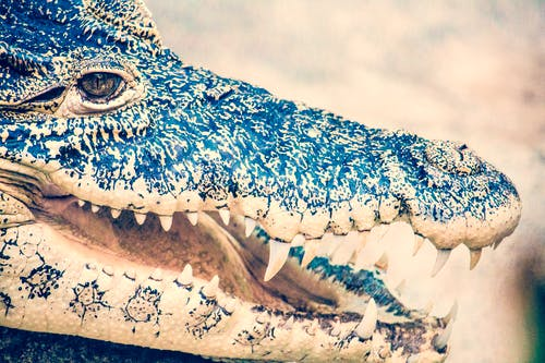 Macro Photography of Black Crocodile