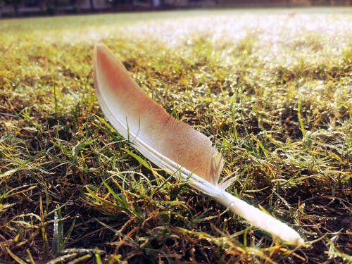 Free stock photo of Fallen Feathers, feather