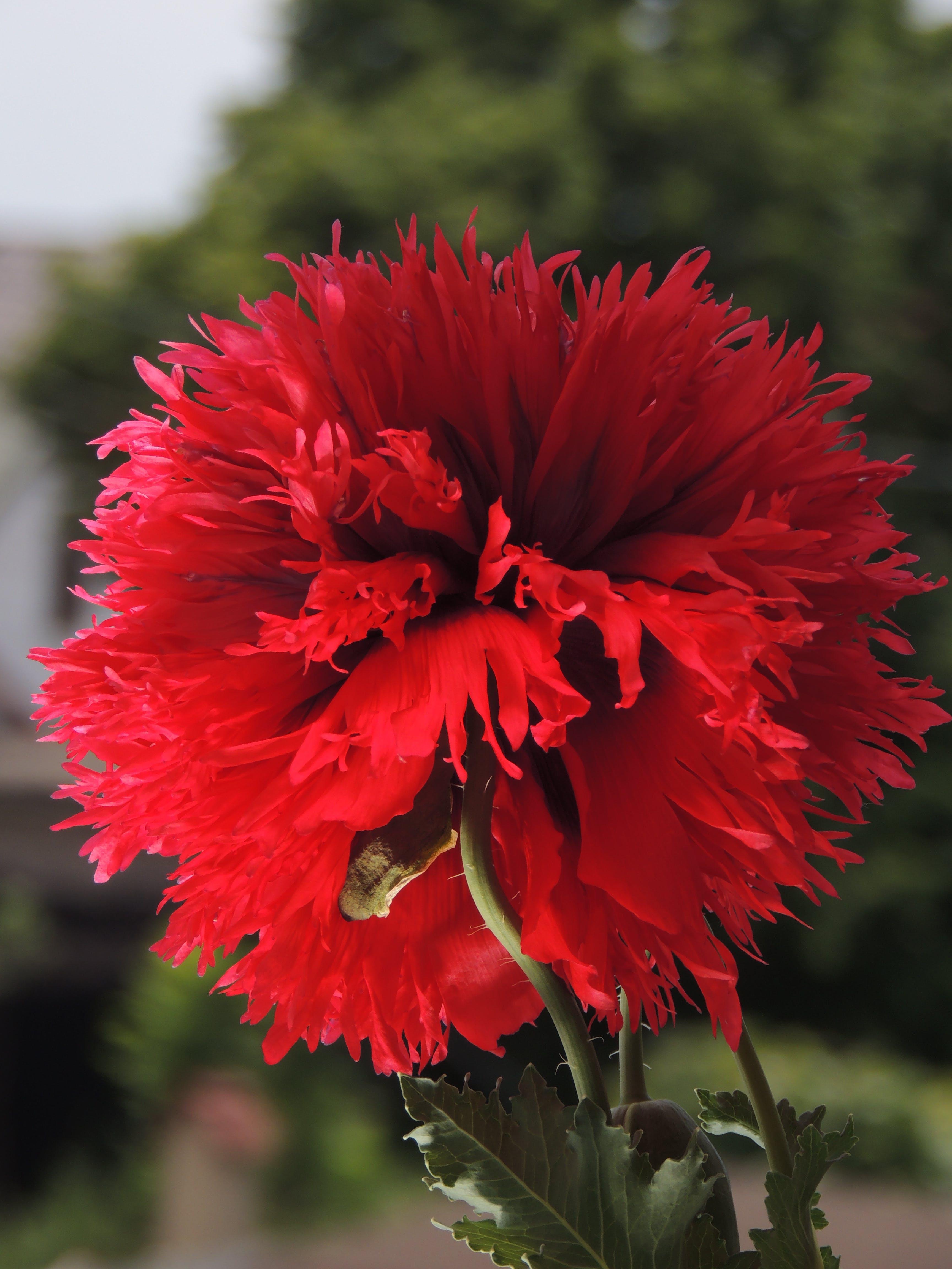 Kostenloses Stock Foto zu floare, mac, mohn, mohnblumen